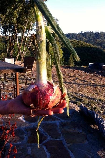 Vogliotti onion