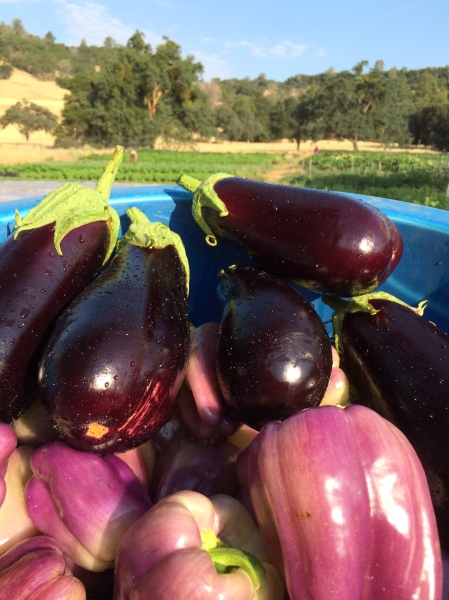 Purple peppers & eggplant